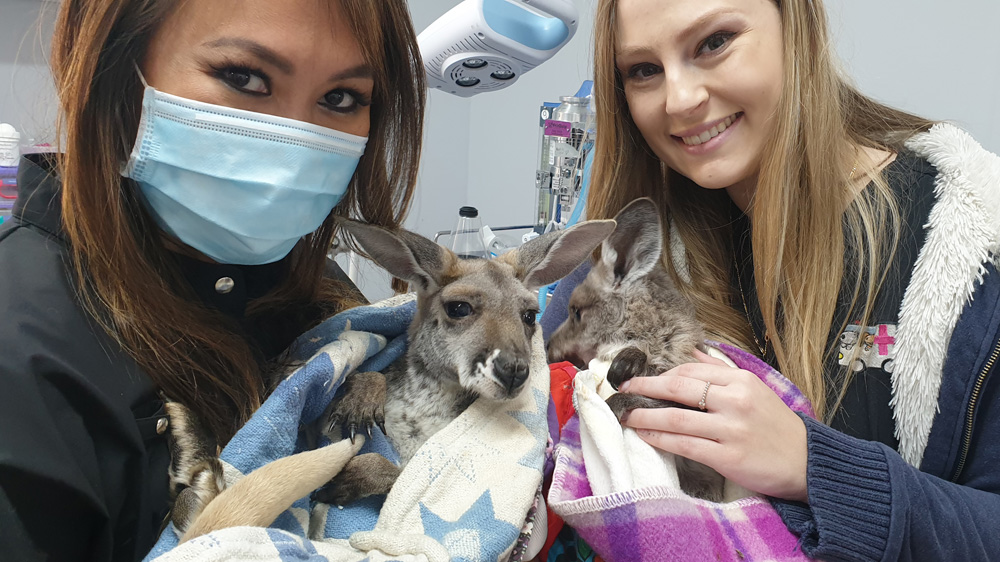 Collaborative Research Project on Eastern Grey Kangaroos
